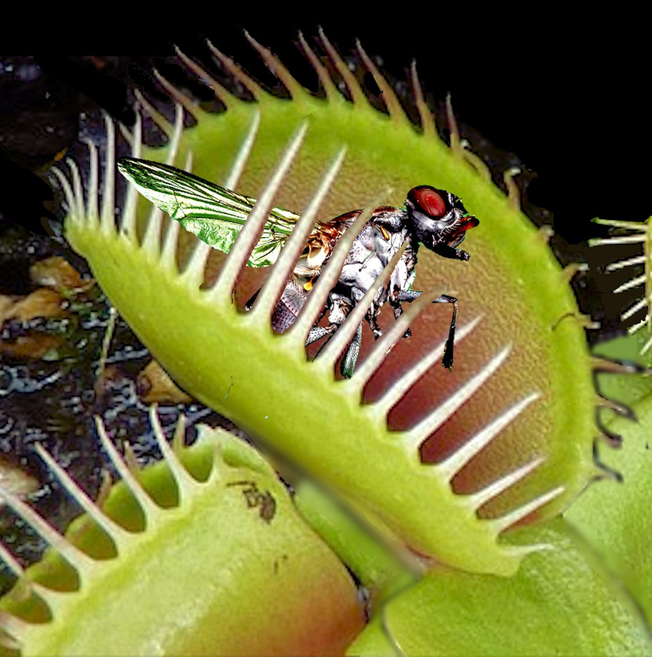 venus flytrap facts for kids fun facts about the venus fly trap we live a lot. Black Bedroom Furniture Sets. Home Design Ideas