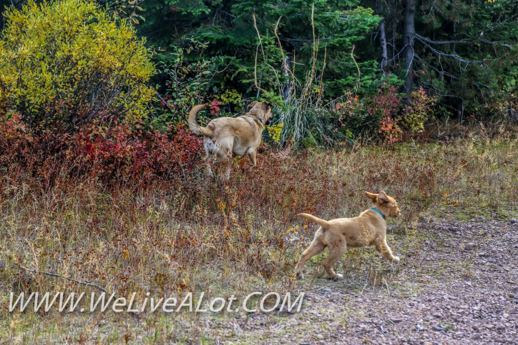 golden retriever puppy and german shepherd lab mix playing
