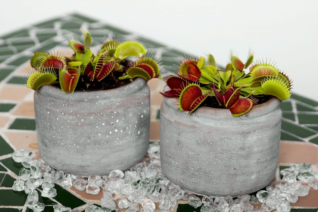 facts about venus fly trap