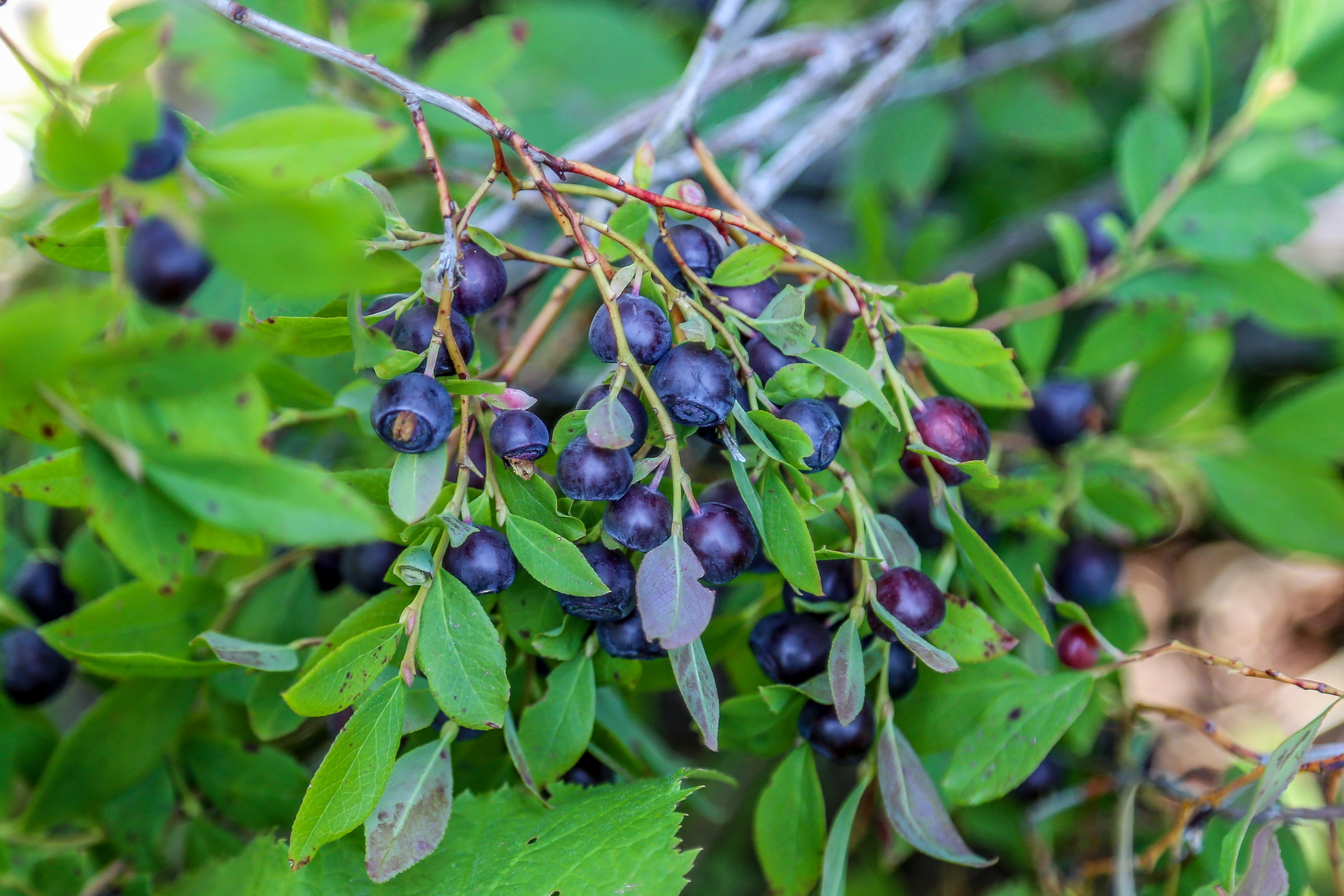 How To Identify Huckleberries What A Huckleberry Bush Looks Like Huckleberry Picking We Live A Lot