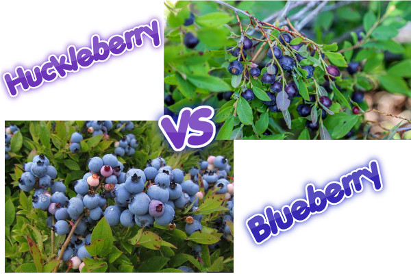 huckleberry vs blueberry logo