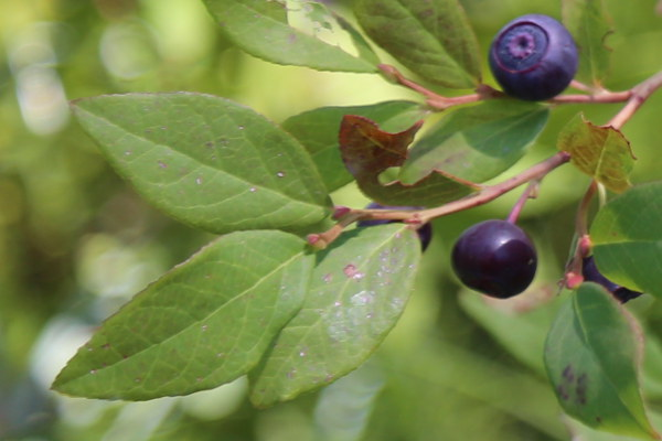 identify a huckleberry bush leaf