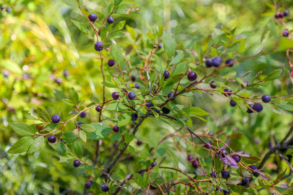 what a huckleberry bush looks like