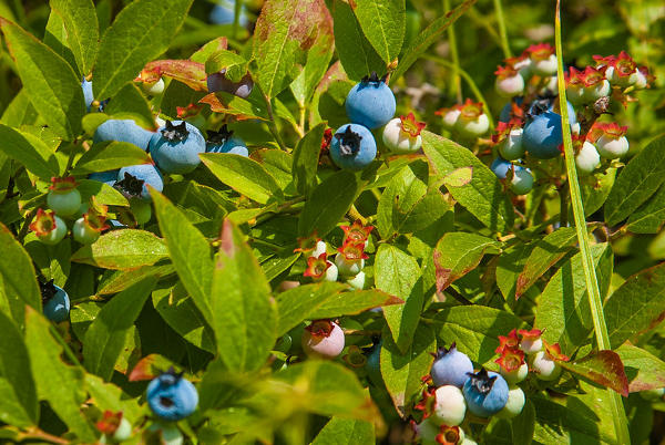 wild blueberry bush in maine